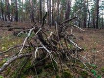 Το παλαιό κολόβωμα, ως χταπόδι που αποκαλύφθηκε, τύλιξε τις πέτρες με τις ξηρές ρίζες Στοκ εικόνες με δικαίωμα ελεύθερης χρήσης