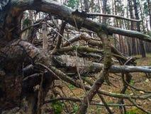 Το παλαιό κολόβωμα, ως χταπόδι που αποκαλύφθηκε, τύλιξε τις πέτρες με τις ξηρές ρίζες Στοκ Φωτογραφίες
