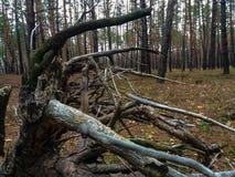 Το παλαιό κολόβωμα, ως χταπόδι που αποκαλύφθηκε, τύλιξε τις πέτρες με τις ξηρές ρίζες Στοκ εικόνα με δικαίωμα ελεύθερης χρήσης