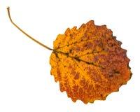το παρδαλό κίτρινο πεσμένο φύλλο το δέντρο που απομονώνεται Στοκ Εικόνα