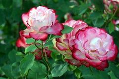 Το παρφαί κερασιών αυξήθηκε δέσμη λουλουδιών Στοκ Εικόνα