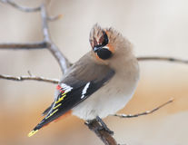 το παχουλό πουλί το Waxwing κάθεται καμπούρη σε έναν κλάδο στη βροχή Στοκ Εικόνες