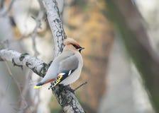 το παχουλό πουλί το Waxwing κάθεται καμπούρη σε έναν κλάδο στη βροχή Στοκ εικόνες με δικαίωμα ελεύθερης χρήσης