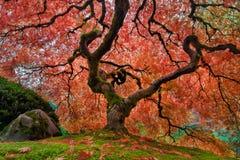 Το παλαιό ιαπωνικό δέντρο σφενδάμνου το φθινόπωρο Στοκ Εικόνα