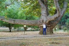 Το παλαιό sycamore δέντρο σε Alushta, κοντά στο πρώην σπίτι του εμπόρου Β γ staheev Στοκ Εικόνες