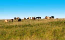 το πεδίο αγελάδων βόσκε&io Στοκ εικόνα με δικαίωμα ελεύθερης χρήσης