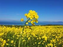 το πεδίο ανθίζει κίτρινο Στοκ εικόνες με δικαίωμα ελεύθερης χρήσης