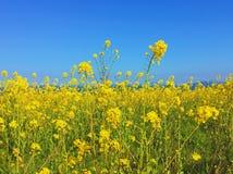 το πεδίο ανθίζει κίτρινο Στοκ Εικόνα