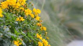 το πεδίο ανθίζει τη μακρο άνοιξη κίτρινη