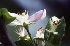 το πεδίο βάθους μήλων ανθίζει το ρηχό δέντρο Η άνοιξη έχει έρθει στοκ φωτογραφία