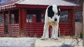 Το πεινασμένο άστεγο μεγάλο σκυλί στην οδό το χειμώνα τρώει τα τρόφιμα κίνηση αργή απόθεμα βίντεο