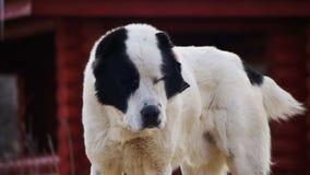 Το πεινασμένο μεγάλο σκυλί στην οδό το χειμώνα τρώει τα τρόφιμα κίνηση αργή φιλμ μικρού μήκους