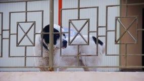 Το πεινασμένο μεγάλο σκυλί στην οδό το χειμώνα τρώει το ψωμί κίνηση αργή απόθεμα βίντεο
