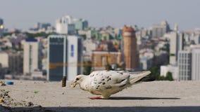 Το πεινασμένο περιστέρι τρώει το κομμάτι του ψωμιού σε αργή κίνηση, υπόβαθρο πόλεων, αστική φωλιά πουλιών απόθεμα βίντεο