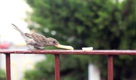 Το πεινασμένο σπουργίτι τρώει τις τηγανιτές πατάτες Στοκ Εικόνα