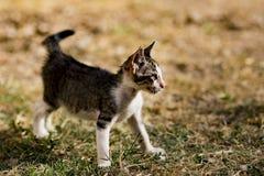 Το περιπλανώμενο γατάκι Στοκ Εικόνες