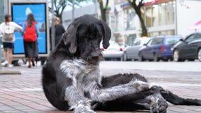 Το περιπλανώμενο δασύτριχο σκυλί βρίσκεται σε μια οδό πόλεων στα πλαίσια της διάβασης των αυτοκινήτων και των ανθρώπων απόθεμα βίντεο