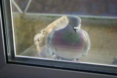 Το περιστέρι έξω από το παράθυρο Στοκ Φωτογραφία