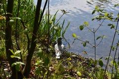 Το περιστέρι έχει τη σιέστα στην ακτή λιμνών στοκ εικόνες
