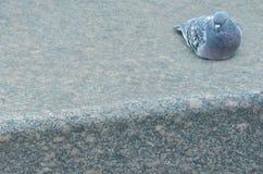 Το περιστέρι κάθεται στη μαρμάρινη πλάκα στοκ εικόνες