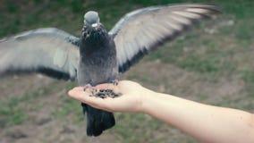 Το περιστέρι τρώει τους σπόρους από ένα χέρι, που χτυπά τα φτερά του απόθεμα βίντεο