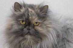Το περσικό καπνώές χρώμα γατών εξετάζει στενό τον επάνω καμερών Στοκ Εικόνες