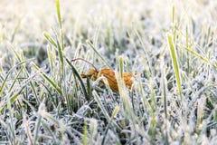Το πεσμένο ξηρό φύλλο σφενδάμου βρίσκεται στη χλόη στον παγετό και το dro δροσιάς Στοκ φωτογραφίες με δικαίωμα ελεύθερης χρήσης