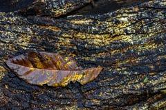 Το πεσμένο φύλλο αποσυντέθηκε πέρα από τον παλαιό ξύλινο κορμό Στοκ Εικόνες