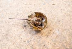 Το πεταλοειδές καβούρι με τη στρογγυλευμένη ουρά Στοκ Εικόνα