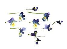 Το πετρέλαιο σύρει μεγάλο μπλε χρωμάτων και τα άσπρα λουλούδια πίεσαν ξηρό pansy Στοκ φωτογραφία με δικαίωμα ελεύθερης χρήσης