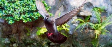 Το πετώντας περιστέρι πόλεων διέδωσε τα φτερά του Σκηνή στο πάρκο στοκ εικόνα