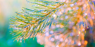 Το πεύκο διακλαδίζεται στη δροσιά ο ήλιος πρωινού Στοκ φωτογραφίες με δικαίωμα ελεύθερης χρήσης