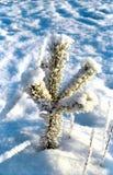 το πεύκο μικρό εχιόνισε δέντρο Στοκ Εικόνα