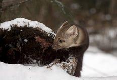 Το πεύκο να εξετάσει το κοίλο κούτσουρο για το κρύψιμο της θέσης κατά τη διάρκεια του wint Στοκ Φωτογραφίες