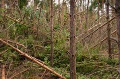 Το πεύκο πιό frorest από τη θύελλα Στοκ φωτογραφία με δικαίωμα ελεύθερης χρήσης