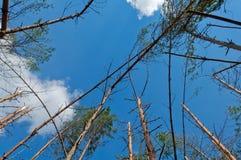 Το πεύκο πιό frorest από τη θύελλα Στοκ Εικόνες
