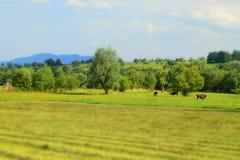 το πεδίο αγελάδων βόσκε&io Στοκ φωτογραφία με δικαίωμα ελεύθερης χρήσης
