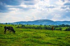 το πεδίο αγελάδων βόσκε&io Στοκ φωτογραφίες με δικαίωμα ελεύθερης χρήσης