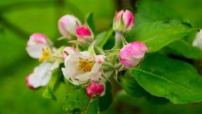 το πεδίο βάθους μήλων ανθίζει το ρηχό δέντρο Στοκ Εικόνες