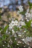 το πεδίο βάθους μήλων ανθίζει το ρηχό δέντρο Στοκ εικόνες με δικαίωμα ελεύθερης χρήσης