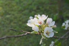 το πεδίο βάθους μήλων ανθίζει το ρηχό δέντρο Στοκ φωτογραφία με δικαίωμα ελεύθερης χρήσης