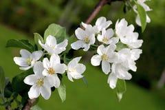 το πεδίο βάθους μήλων ανθίζει το ρηχό δέντρο Στοκ Φωτογραφία