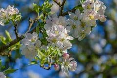 το πεδίο βάθους μήλων ανθίζει το ρηχό δέντρο Στοκ Εικόνα