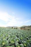 Το πεδίο πράσινων λάχανων Στοκ Φωτογραφίες