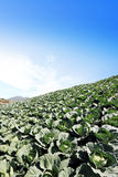 Το πεδίο πράσινων λάχανων Στοκ Εικόνα