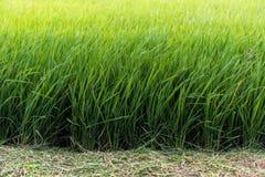 Το πεδίο ρυζιού Στοκ φωτογραφία με δικαίωμα ελεύθερης χρήσης