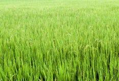 Το πεδίο ρυζιού Στοκ Φωτογραφίες