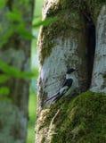 Το πιαμένο flycatcher Ficedula αρσενικό albicollis Στοκ Εικόνα