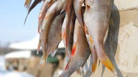 Το πιασμένο του γλυκού νερού ψάρι με τα κόκκινα πτερύγια κρεμά και ξεραίνει στο σχοινί έξω απόθεμα βίντεο