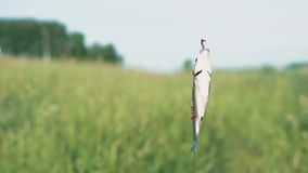 Το πιασμένο ψάρι ανοίγει έναν γάντζο αλιείας απόθεμα βίντεο